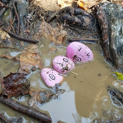 pig rocks in the mud